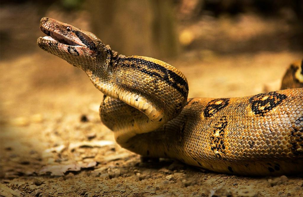 Striking Boa Constrictor